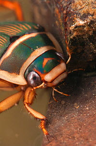 Great diving beetle (Dytiscus marginalis) female, Europe, September, controlled conditions - Jan  Hamrsky
