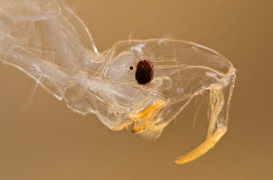 Phantom midge larva (Chaoborus flavicans) head detail, Europe, October, controlled conditions  -  Jan  Hamrsky