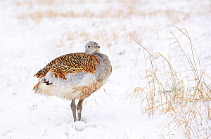 Great Bustard (Otis tarda) female puffed up against the cold, in snow on Salisbury Plain, part of a reintroduction project with birds imported under DEFRA licence from Russia. Salisbury Plain, Wiltshi...  -  David Kjaer