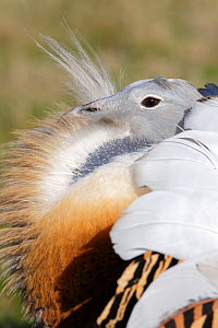 Great Bustard (Otis tarda) adult male breeding plumage in full spring display, on Salisbury Plain, part of a reintroduction project with birds imported under DEFRA licence from Russia. Salisbury Plain... - David Kjaer,David Kjaer