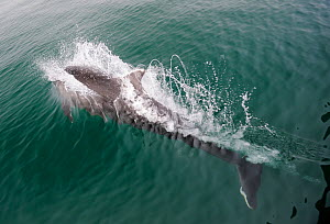 Bottlenose Dolphin (Tursiops truncatus) splashing water as it surfaces, Cardigan Bay, Wales, May  -  Graham Eaton,Graham  Eaton