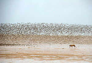 Dog chasing and disturbing a flock of Knot (Calidris canutus) on a beach, Hoylake, Wirral  -  Graham Eaton,Graham  Eaton