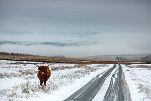 Highland cow next to road above Malham, Yorkshire, winter.  -  Graham Eaton,Graham  Eaton