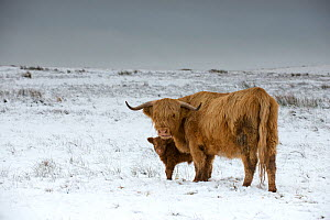 Highland cow with calf on moorland in snow above Malham, Yorkshire, winter. - Graham Eaton