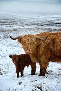 Highland cow with calf on moorland in snow above Malham, Yorkshire, winter. - Graham Eaton,Graham  Eaton