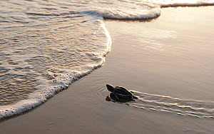 A hatchling Leatherback Turtle (Dermochelys coriacea) nearing the waters edge, Cayenne, French Guiana - Graham Eaton,Graham  Eaton