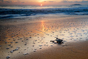 Leatherback Turtle Hatchling (Dermochelys coriacea) crossing a beach towards the sea at sunrise, Cayenne, French Guiana, July - Graham  Eaton