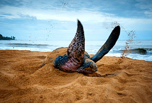 Leatherback Turtle (Dermochelys coriacea) covering her nest after egg laying, Cayenne, French Guiana - Graham  Eaton