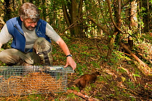 Pete Turner releases Pine Marten (Martes martes) from trap after removing radio collar. Pine marten research by the Waterford Institute of Technology, Ireland. August 2008  -  Terry Whittaker