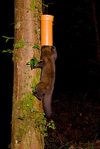 Pine marten (Martes martes) finding bait in plastic tube, left to collect hair samples for DNA analysis to study the interrelatedness and distribution of pine martens. Pine marten research by the Wate...  -  Terry Whittaker