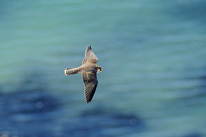 Juvenile Peregrine Falcon (Falco peregrinus) in flight near the  White Cliffs of Dover, Kent, UK. July 2012.  -  Terry Whittaker