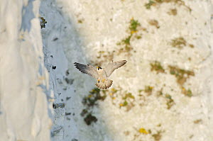 Peregrine Falcon (Falco peregrinus) flying in to perch on the  White Cliffs of Dover, Kent, UK. April 2012  -  Terry Whittaker