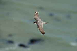 Peregrine Falcon (Falco peregrinus) in flight near the White Cliffs of Dover, Kent, UK. May 2012  -  Terry Whittaker