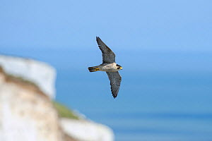 Peregrine Falcon (Falco peregrinus) in flight over White Cliffs of Dover, Kent, UK. May 2012  -  Terry Whittaker
