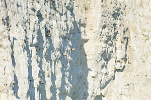 Peregrine Falcon (Falco peregrinus) perched on the  White Cliffs of Dover, Kent, UK. April 2012  -  Terry Whittaker