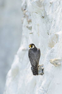Peregrine Falcon (Falco peregrinus) on the White Cliffs of Dover, Kent, UK. May 2012  -  Terry Whittaker