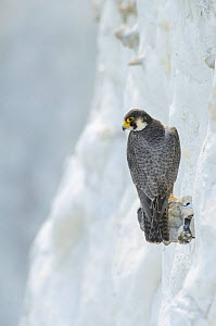 Peregrine Falcon (Falco peregrinus) on the White Cliffs of Dover, Kent, UK. May 2012 (This image may be licensed either as rights managed or royalty free.)  -  Terry Whittaker