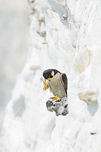 Peregrine Falcon (Falco peregrinus) scratching head perched on the White Cliffs of Dover, Kent, UK. May 2012  -  Terry Whittaker