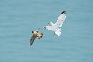Peregrine Falcon (Falco peregrinus) and Herring gull (Larus argentatus) fighting mid-air, near the White Cliffs of Dover, May 2012  -  Terry Whittaker