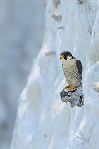 Peregrine Falcon (Falco peregrinus) perched on the White Cliffs of Dover, Kent, UK. May 2012  -  Terry Whittaker