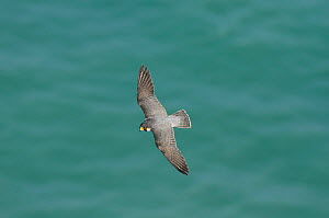 Peregrine Falcon (Falco peregrinus) in flight near the White Cliffs of Dover, Kent, UK. May 2012 (This image may be licensed either as rights managed or royalty free.)  -  Terry Whittaker