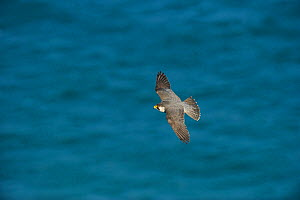 Peregrine Falcon (Falco peregrinus) in flight near the near White Cliffs of Dover, Kent, UK. May 2012  -  Terry Whittaker