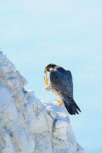 Peregrine Falcon (Falco peregrinus) grooming, on the White Cliffs of Dover, Kent, UK. May 2012  -  Terry Whittaker