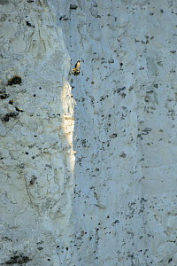 Peregrine Falcon (Falco peregrinus) perched on the White Cliffs of Dover, Kent, UK. March 2012  -  Terry Whittaker