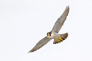 Peregrine Falcon (Falco peregrinus) in flight near the White Cliffs of Dover, Kent, UK. March 2012  -  Terry Whittaker