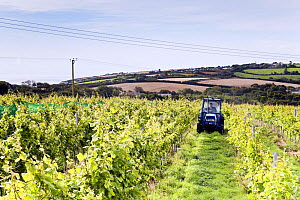Tractor driving through Grape vines (Vitis vinifera), Knightor Winery vineyard, Roseland Peninusla, Cornwall, England, August 2012.  -  Merryn Thomas