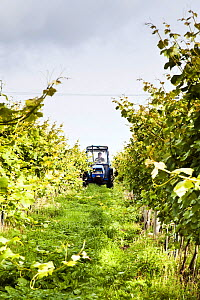 Tractor driving through Grape vines (Vitis vinifera), Knightor Winery vineyard, Roseland Peninusla, Cornwall, England, August 2012.  -  Merryn Thomas,Merryn  Thomas