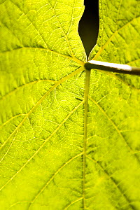 Close up of the leaf of a Grape vine (Vitis vinifera), Knightor Winery vineyard, Roseland Peninusla, Cornwall, August.  -  Merryn Thomas
