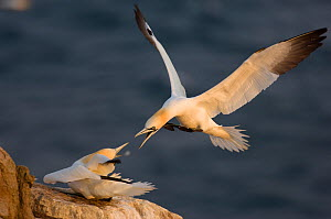 Gannet (Morus bassanus) in the middle of a neighbourly dispute. Shetland Islands, Scotland, UK~August.  -  Andrew Parkinson