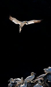 Gannet (Morus bassanus) adult, backlit by the morning sun, coming in to land in colony, Shetland Islands, Scotland, UK. September - Andrew Parkinson