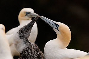Gannet (Morus bassanus) chick taps the tip of its parent's bill to try stimulate the adult into regurgitating some food. Shetland Islands, Scotland, UK, July  -  Andrew Parkinson