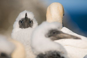 Gannet (Morus bassanus) chick, with downy feathers in the heart of the gannetry. Shetland Islands, Scotland, UK, July.  -  Andrew Parkinson