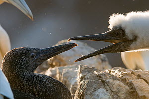 Gannet (Morus bassanus) young chick (right) confronting a fully fledged neighbour. Shetland Islands, Scotland, UK, August.  -  Andrew Parkinson