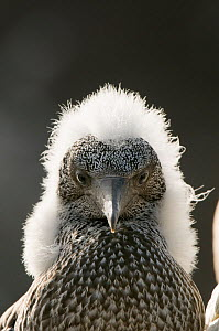 Gannet (Morus bassanus) portrait of a growing chick with a fluffy head, Shetland Islands, Scotland, UK, August.  -  Andrew Parkinson