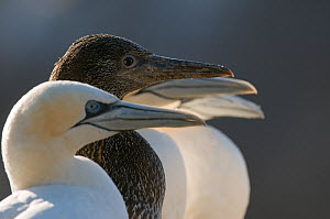 Gannet (Morus bassanus)  chick in a line of adults. Shetland Islands, Scotland, UK, August.  -  Andrew Parkinson