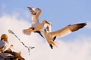 Pair of Gannets (Morus bassanus) collide in mid-air, the sprig of seaweed that the gannet (right) was carrying is sent flying through the air. June.~Shetland Islands, Scotland, UK  -  Andrew Parkinson