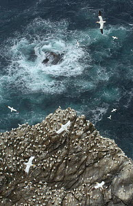 Cliff top view of a gannet (Morus bassanus) colony. Shetland Islands, Scotland, UK, July.  -  Andrew Parkinson