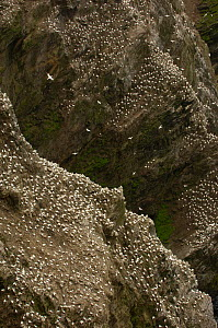 Cliff face with part of a massive gannet (Morus bassanus) colony. Shetland Islands, Scotland, UK, July.  -  Andrew Parkinson