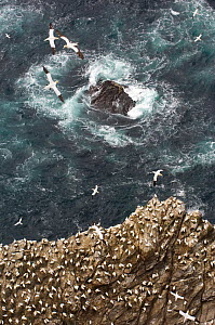 Gannet (Morus bassanus) colony on cliffs with waves crashing on the rocks, Shetland Islands, Scotland, UK, July  -  Andrew Parkinson