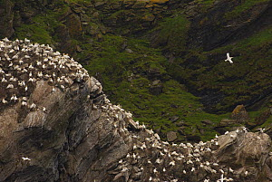 Gannet (Morus bassanus) colony on cliffs. Shetland Islands, Scotland, UK, July.  -  Andrew Parkinson