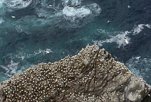 Gannet (Morus bassanus) colony on cliffs, viewed from above, Shetland Islands, Scotland, UK, July  -  Andrew Parkinson