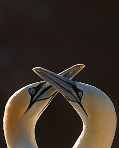 Gannet (Morus bassanus) breeding pair during part of their elaborate courtship ritual. Saltee Islands, Republic of Ireland, May.  -  Andrew Parkinson