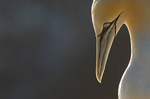 Gannet (Morus bassanus) portrait, backlit by evening light. Shetland Islands, Scotland, UK,  September.  -  Andrew Parkinson