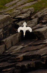 Gannet (Morus bassanus) adult diving, Shetland Islands, Scotland, UK, July  -  Andrew Parkinson