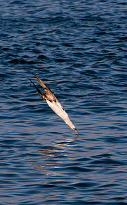 Gannet (Morus bassanus) diving in evening sunlight. Shetland Islands, Scotland, UK, July.  -  Andrew Parkinson