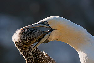 Gannet (Morus bassanus) adult regurgitates food for its growing chick. Shetland Islands, Scotland, UK,  September.  -  Andrew Parkinson